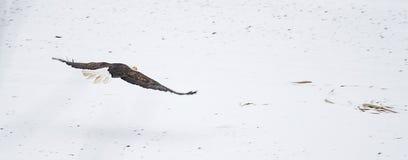 Wilder Weißkopfseeadler, der über Schnee fliegt Lizenzfreie Stockfotografie