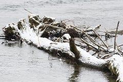 Wilder Weißkopfseeadler, der herein auf einem Logon den Skagit-Fluss sitzt Lizenzfreie Stockfotografie