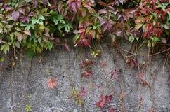 Wilder Wein, der eine Betonmauer bedeckt Stockfotos