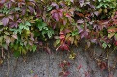 Wilder Wein, der eine Betonmauer bedeckt Lizenzfreie Stockfotos