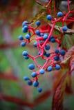 Wilder Wein im Herbst Stockfoto