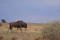 Wilder Wildebeest Stockbild