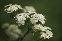 Wilder Wildflower der gemeinen Schafgarbe in der Blüte Stockbilder
