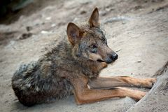 Wilder Wolf Stockbild