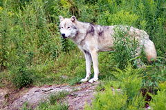 Wilder Wolf im Holz Stockfoto