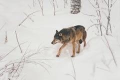 Wilder Wolf im schneebedeckten Wald Finnland lizenzfreie stockbilder