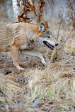 Wilder Wolf im Wald Stockfotos