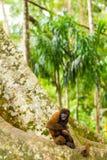 Wilder wolliger Affe im Dschungel Lizenzfreie Stockfotos