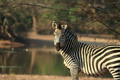 Wilder Zebra Stockbild