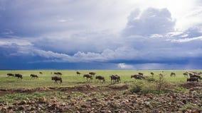 Wilderbeast flyttning, Serengeti, Afrika royaltyfria bilder