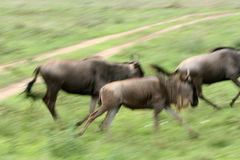 Wilderbeast Running , Africa. Wilderbeast  - Serengeti Wildlife Conservation Area, Safari, Tanzania, East Africa Stock Images
