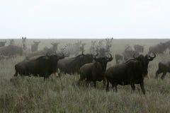 Wilderbeast Running - Safari, Tanzania, Africa Royalty Free Stock Photos