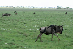 Wilderbeast Running - Safari, Tanzania, Africa Stock Photo