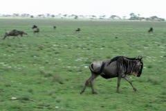 Wilderbeast Running - Safari, Tanzania, Africa. Wilderbeast  - Serengeti Wildlife Conservation Area, Safari, Tanzania, East Africa Stock Photo