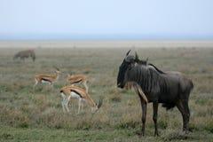 Wilderbeast - Serengeti Safari, Tanzania, Africa Royalty Free Stock Image