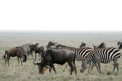 Wilderbeast - Serengeti Safari, Tanzania, Africa Stock Photo