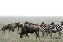 Wilderbeast - Serengeti Safari, Tanzania, Africa Stock Photo