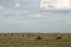 Wilderbeast - Serengeti Safari, Tanzania, Africa Stock Images