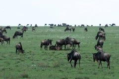 Wilderbeast - Serengeti Safari, Tanzania, Africa Stock Images
