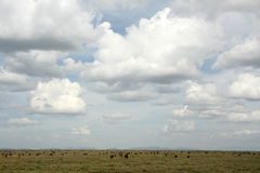 Wilderbeast - Serengeti Safari, Tanzania, Africa Stock Image