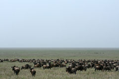 Wilderbeast - Serengeti Safari, Tanzania, Africa Royalty Free Stock Photography
