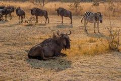 Wilderbeast und Zebras, die warten, um einzuziehen, Matopos, Simbabwe lizenzfreies stockbild