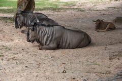Wilderbeast vilar under trädet Fotografering för Bildbyråer