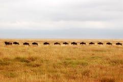wilderbeasts проникать Стоковая Фотография RF
