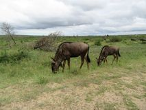 Wilderbees & vitela Fotos de Stock Royalty Free