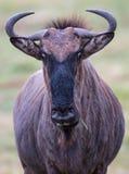 Wilderbeest或牛羚 免版税库存照片