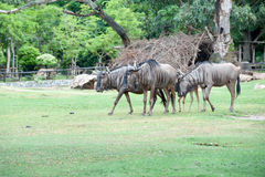 Wilderbeest fotografie stock
