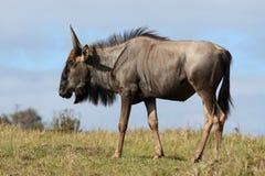 Wilderbeest Antelope Royalty Free Stock Photography