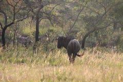 Wilderbeest blu Immagini Stock Libere da Diritti