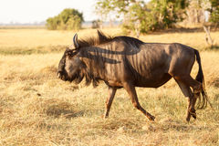 Wilderbeest, Botswana, Africa Stock Images