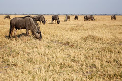Wilderbeest, Botswana, Africa Royalty Free Stock Image