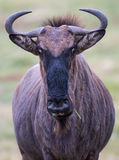 Wilderbeest of GNU Royalty-vrije Stock Foto's