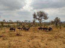 Wilderbeest nel parco nazionale di Kruger in Africa immagine stock libera da diritti