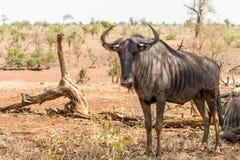 Wilderbeests przy Kruger parkiem narodowym, Południowa Afryka Obrazy Royalty Free