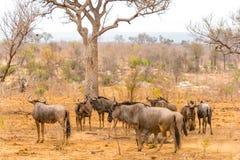 Wilderbeests przy Kruger parkiem narodowym, Południowa Afryka Zdjęcie Stock
