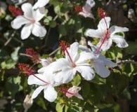 Wilderes weißes hawaiisches Hibiscus arnottianus einzelner Hibiscus mit den rosa Staubgefässen Stockbild