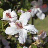 Wilderes weißes hawaiisches Hibiscus arnottianus einzelner Hibiscus mit den rosa Staubgefässen Stockfotografie