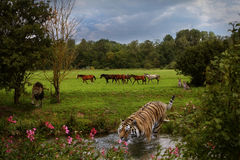 Wilderness. Horses, lion and tiger in the same landscape Stock Photos
