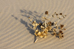 Wilderness. Dried plant laying on the sand Royalty Free Stock Image