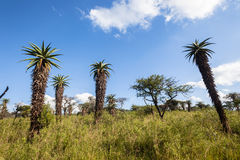 Wilderness Aloes Trees Grass Terrain Sky Stock Image