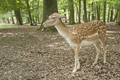 Wilderness animal of fallow deer in Black Forest. Stock Photography