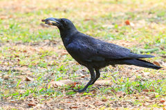 Wilderness black crow bird standing on grass field catching some Stock Photos