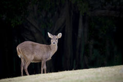 Wilderness deer in natural wild life  field Royalty Free Stock Images