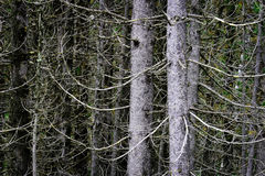 Wilderness Forest of Pine Trees Limbs and Branches. Forest of Pine trees limbs and branches in the wilderness Stock Photo