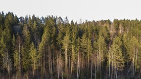 Wilderness forest trees in sunny spring day landscape view royalty free stock photos