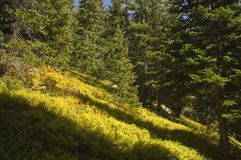 Wilderness groundcover. Lush fall ground cover in the Indian Peaks Wilderness, Colorado Royalty Free Stock Photo